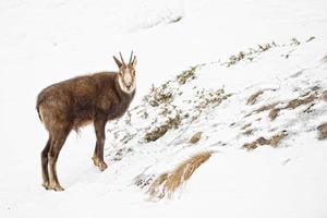 Gämsenhirschporträt im Schneehintergrund foto
