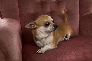 lustiger niedlicher chihuahua Hund, der auf Stuhl im Profil links liegt