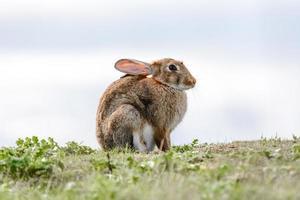 wildes Kaninchen auf Skyline