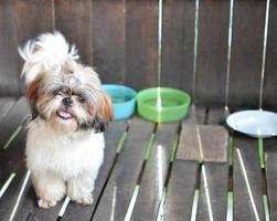 Shih Tzu Hund lächelt
