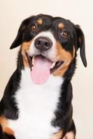 Porträt Sennen Hund