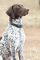 Deutscher kurzhaariger Zeigerhund, der im Feld sitzt