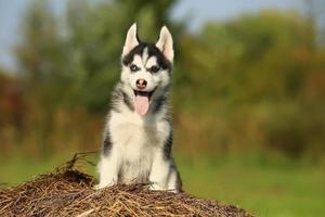 Welpe Husky mit verschiedenfarbigen Augen mit hängender Zunge