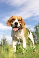 Beagle-Hund - vertikales Fotoporträt