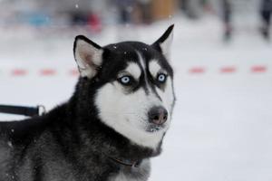 Hund ist mit blauen Augen