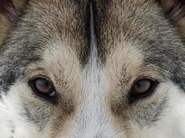 Sibirischer Husky