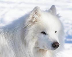 Winterporträt eines weißen Hundes der Samojeden foto