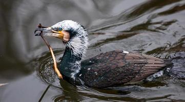 Kormoran schwimmt auf einem Teich