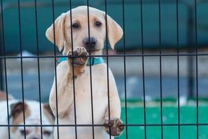 Baby gelber Labrador Retriever foto