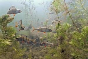 Unterwasseraufnahme von Barschschwarm mit Wasserpflanzen foto