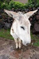 Esel in der Colca-Schlucht foto