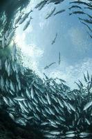 Blick auf eine Fischschwarm von unten im Wasser