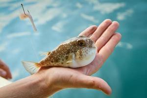 Fugu Fisch foto