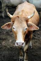Kühe starren foto