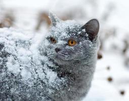 süße Katze bedeckt mit Schnee, der im Winter draußen geht foto