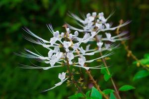 Katzenschnurrhaarpflanze