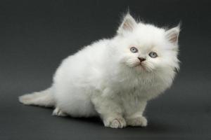schönes süßes britisches Kätzchen foto