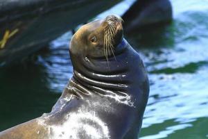 Seelöwe am Dock foto