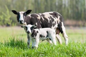 Mutterschaf mit ihrer neugeborenen Tochter foto