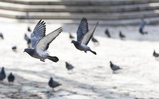 Tauben fliegen foto