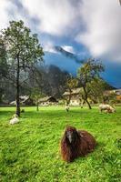 Schafe auf der Weide in den Alpen bei Sonnenaufgang