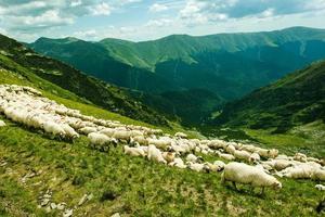 Schafe in den Bergen foto