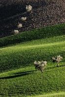 Olivenbäume foto