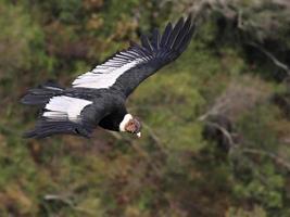 Kondor über grünem Hang-Bolivien