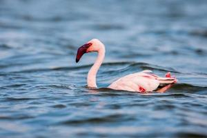 der kleinere Flamingo, der die Hauptattraktion für Touristen ist foto