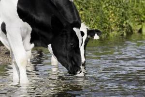 durstige Kühe foto
