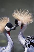 Flamingos schauen sich an