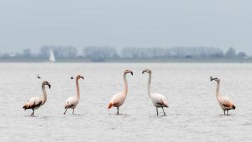 Gruppe von Flamingos in der Wildnis