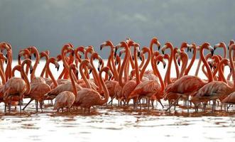 Herde größerer Flamingos