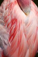 schlafender größerer Flamingokopf unter Federn versteckt