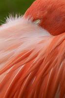 Nahaufnahme rosa Flamingo