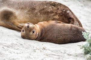 Neugeborener australischer Seelöwe auf Sandstrandhintergrund