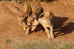 drei verspielte Löwinnen bei Sonnenaufgang