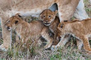 Löwe in Kenia foto