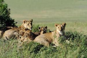 Löwe im Gras von Masai Mara, Kenia foto