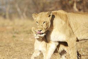 Löwin mit ihrem Jungen foto