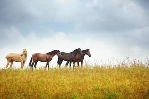 vier Pferde in der Steppe