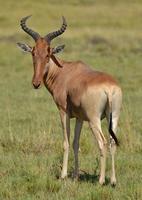 Topi in Kenia foto