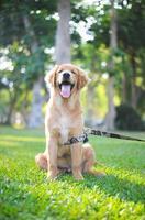 glücklicher Golden Retriever, der sich hinsetzt foto
