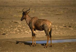 Tsessebe am Wasserloch foto