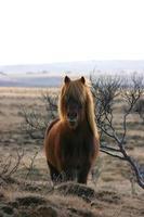 wildes isländisches Pony