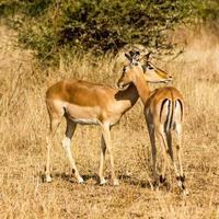 Impala Umarmung foto