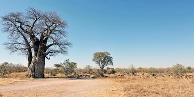 Affenbrotbaumlandschaft mit Impala-Antilopenfütterung foto
