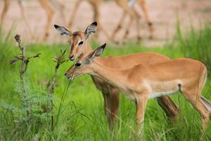 Puku Hirsch in freier Wildbahn auf Safari foto