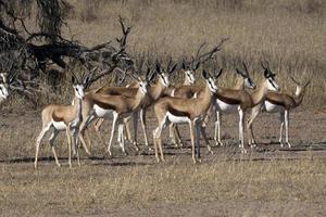 Springbock in der Kalahari foto