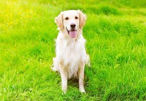 glücklicher goldener Retrieverhund, der auf dem grünen Grassommer sitzt